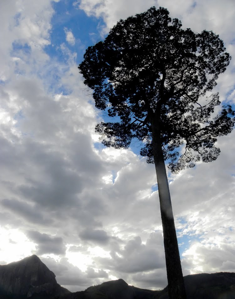 Manilkara longifolia