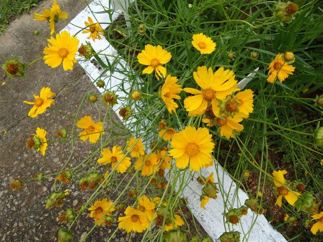 Margarida amarela)(1)