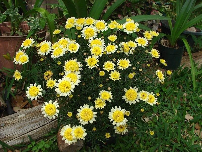 Margarida (argyranthemum-yellow)