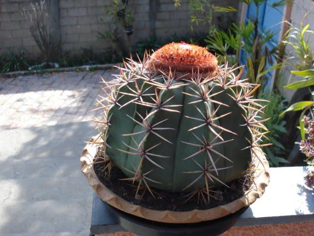 Melocactus macrodiscus