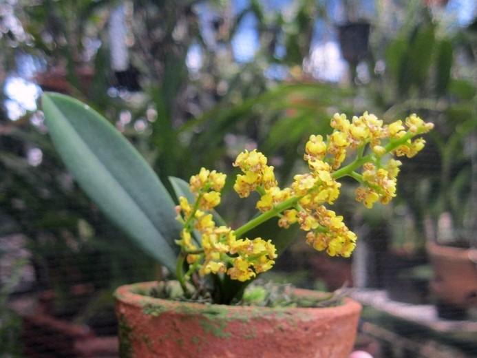 Micro Orquídea Lophiaris Pumila