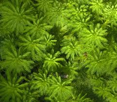 Mil-folhas (Myriophyllum aquaticum)