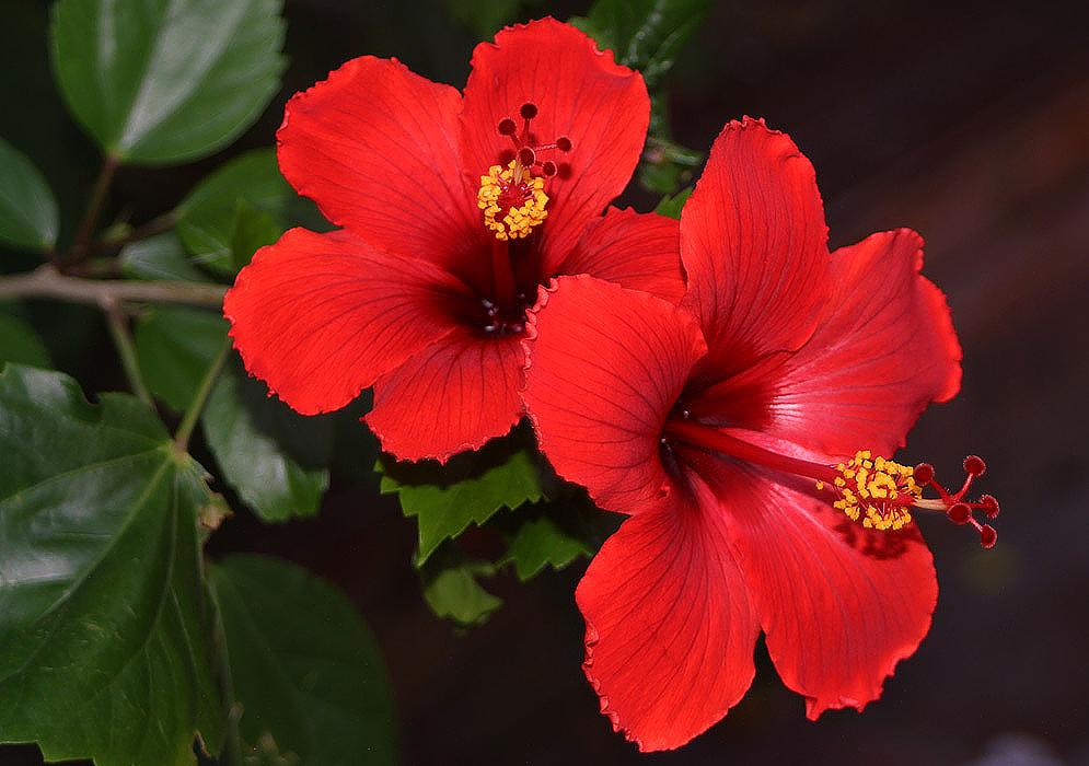 Mimo-de-vênus -hibiscus-rosa-sinensis