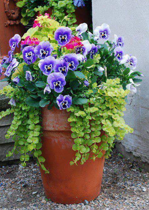 Mini Amor-perfeito (Viola witrockiana híbrida)