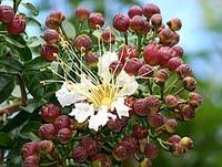 Mirindiba-rosa