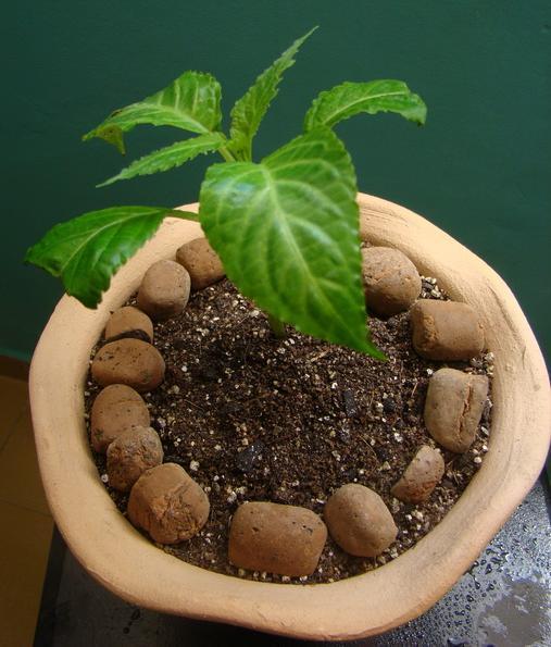 Muda Salvia
