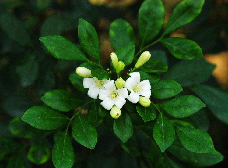 Murta (Murraya sp.)