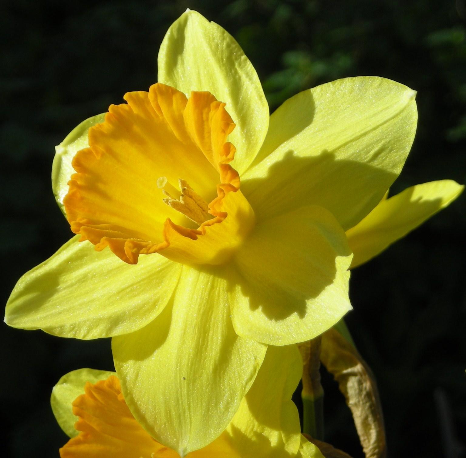 Narcissus Hybridus