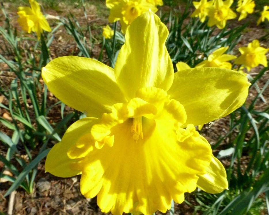 Narcissus Hybridus_NAA
