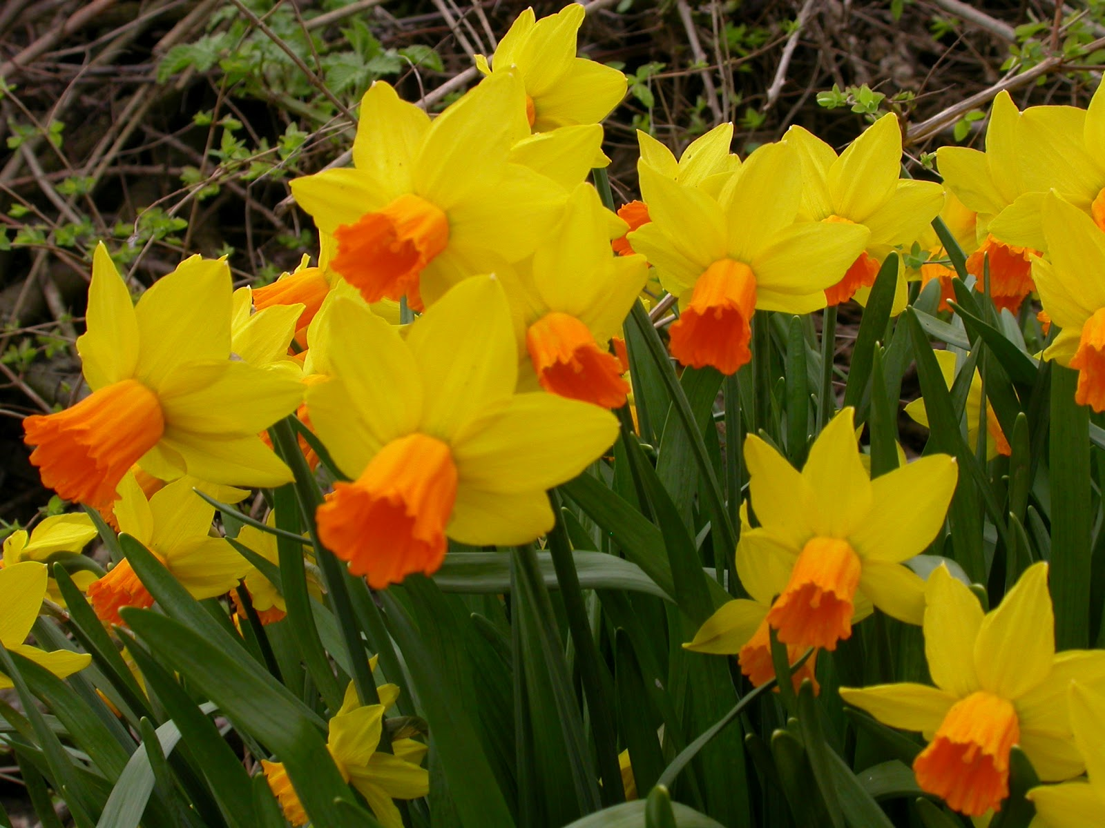 Narcissus_cyclamineus_032