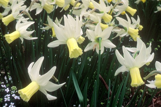 Narcissus_cyclamineus_12