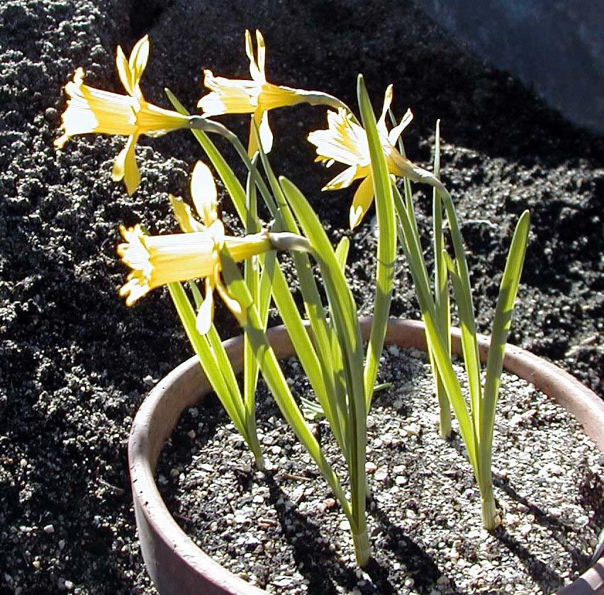 Narcissus_eugeniae