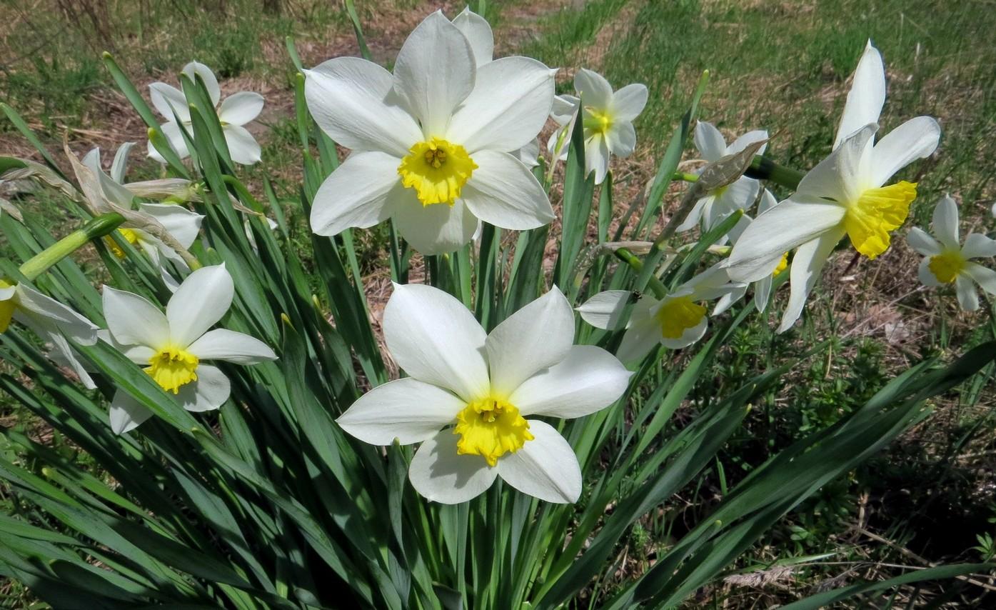 Narcissus_hybridus_3