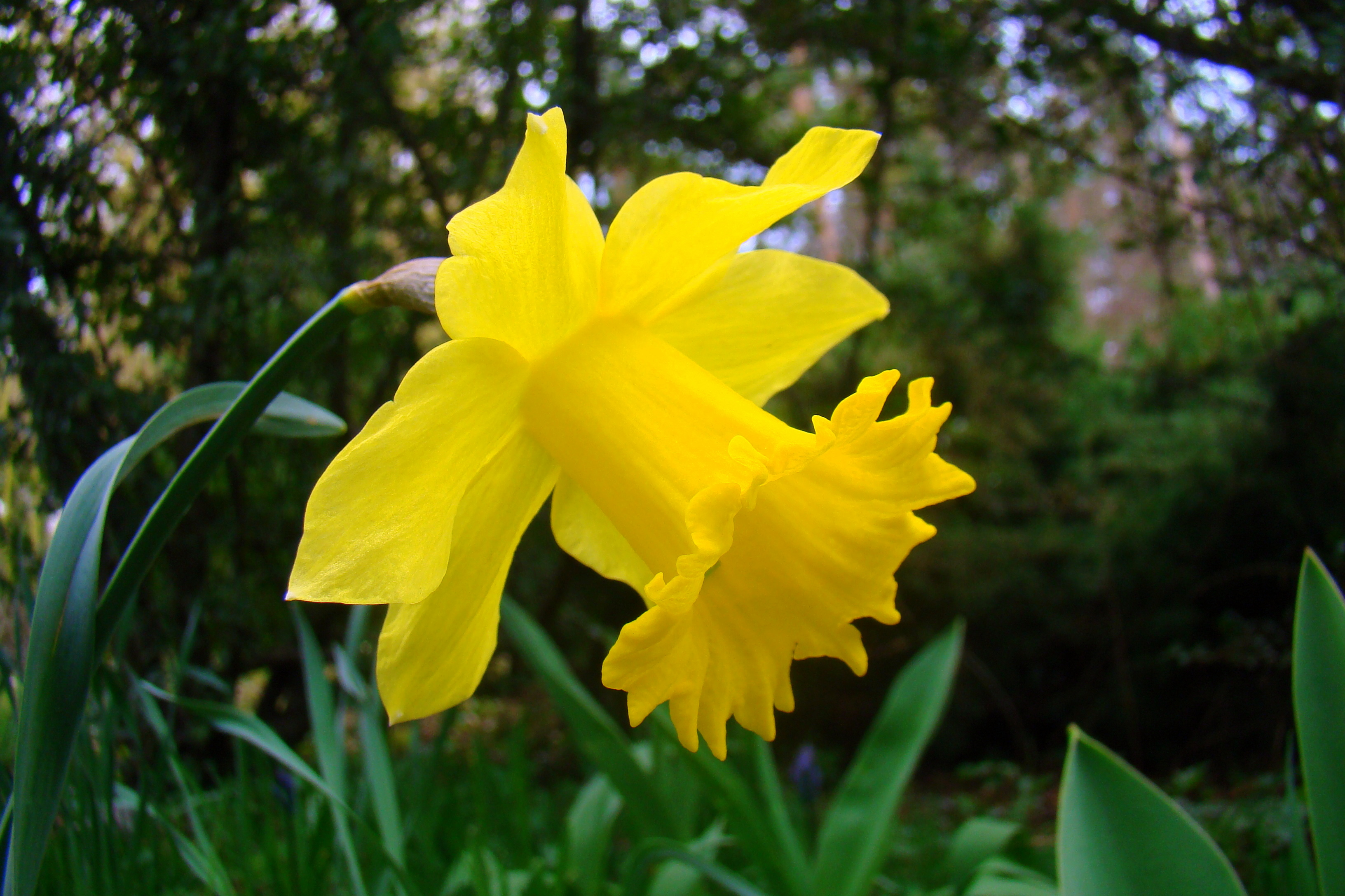 Narcissus_pseudonarcissus