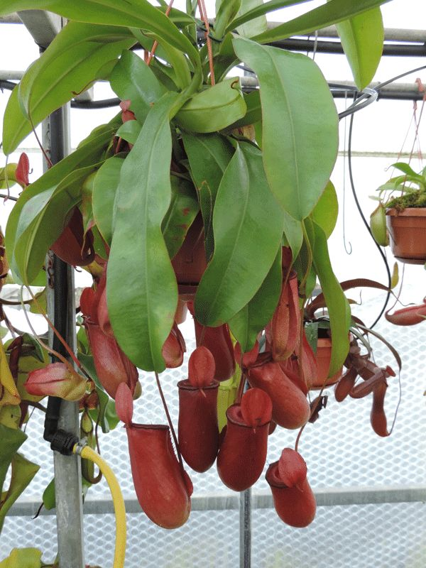 Nepenthes_peltata