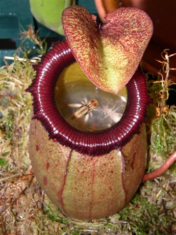 Nepenthes_sibuyanensis