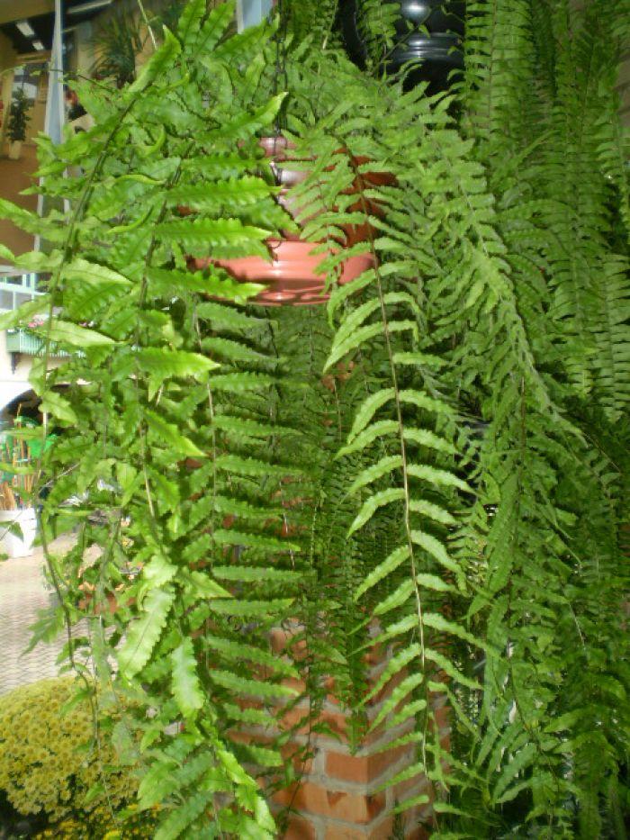 Nephroleps cordifolia.