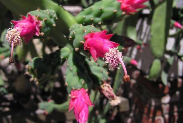 Nopalea cochenillifera2