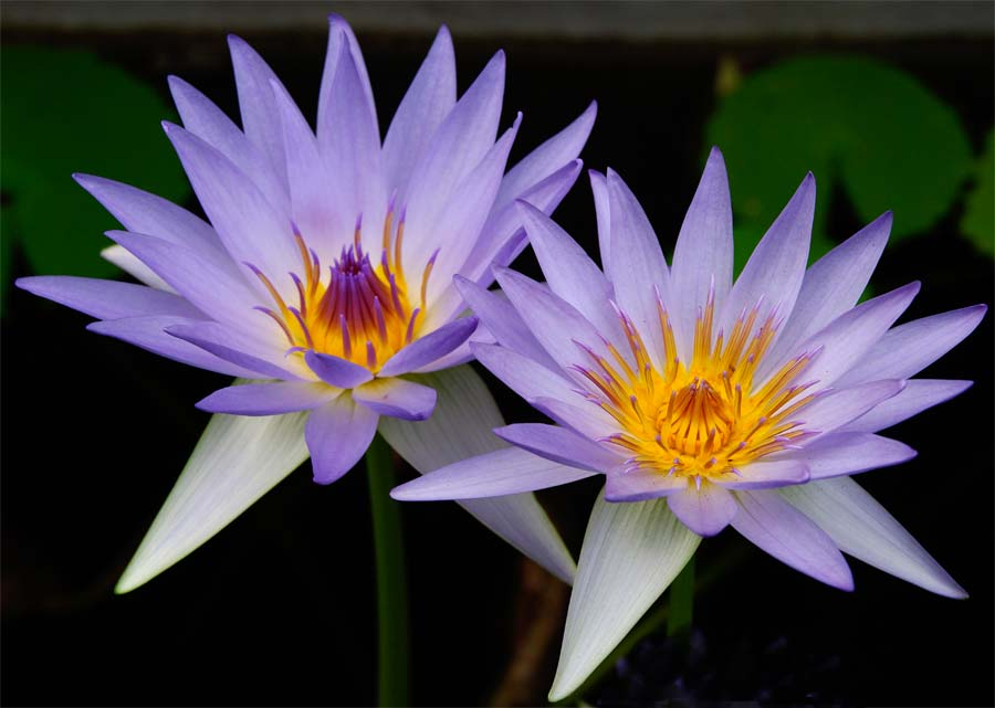 Nymphaea-Caerulea-two