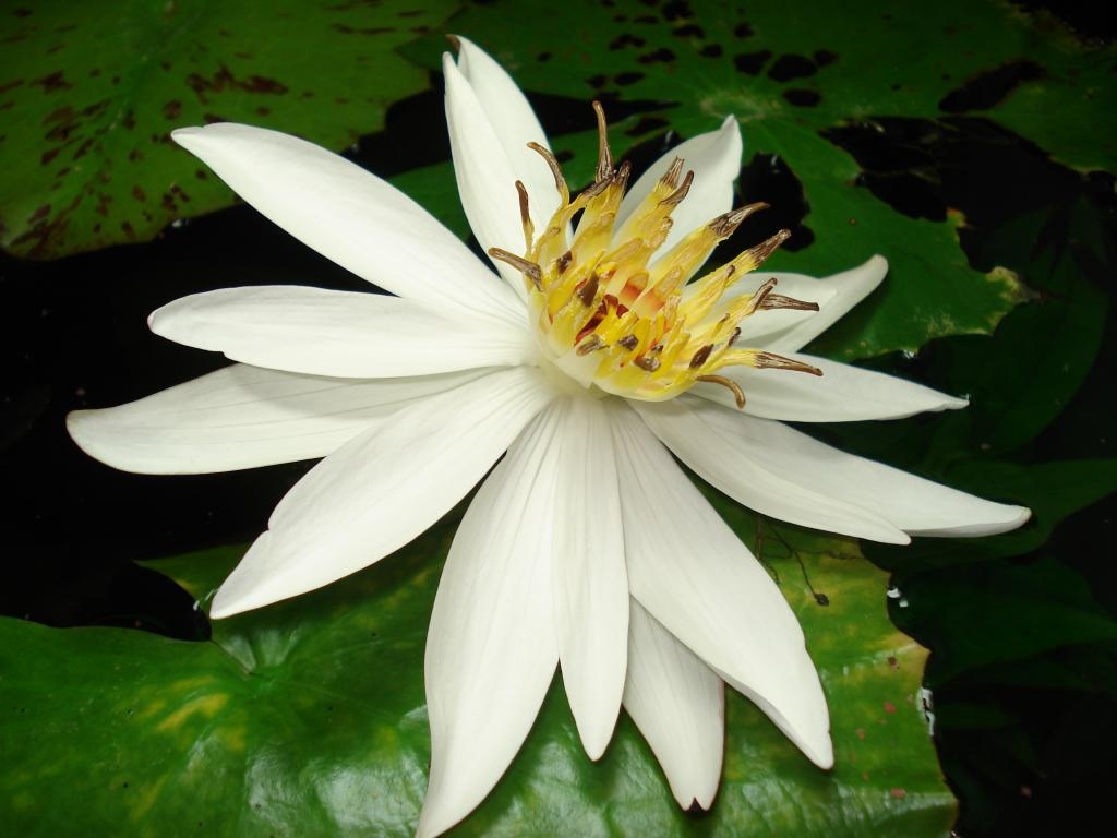 Nymphaea_lotus