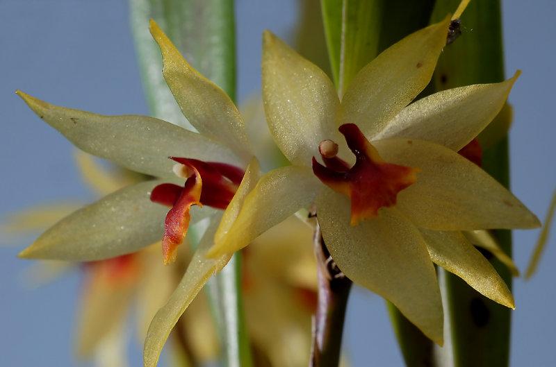 Octomeria-Grandiflora