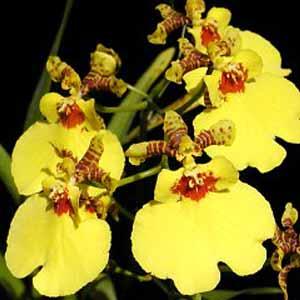Oncidium Aloha