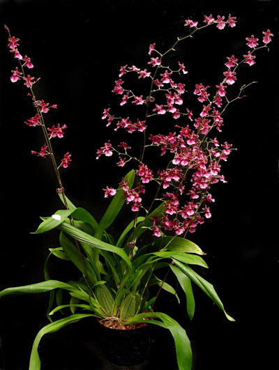 Oncidium Care