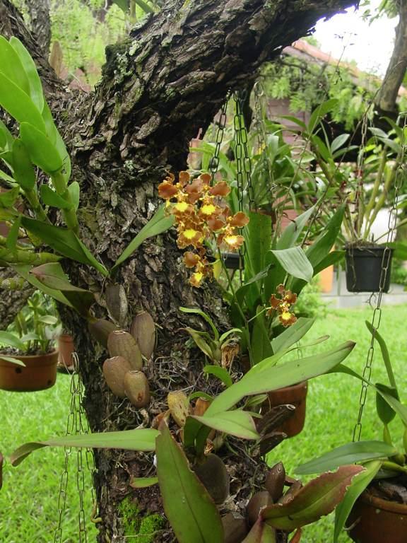 Oncidium crispum