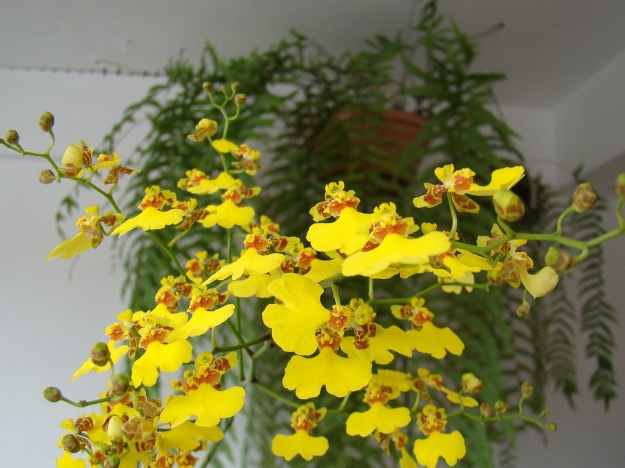 Oncidium varicosum