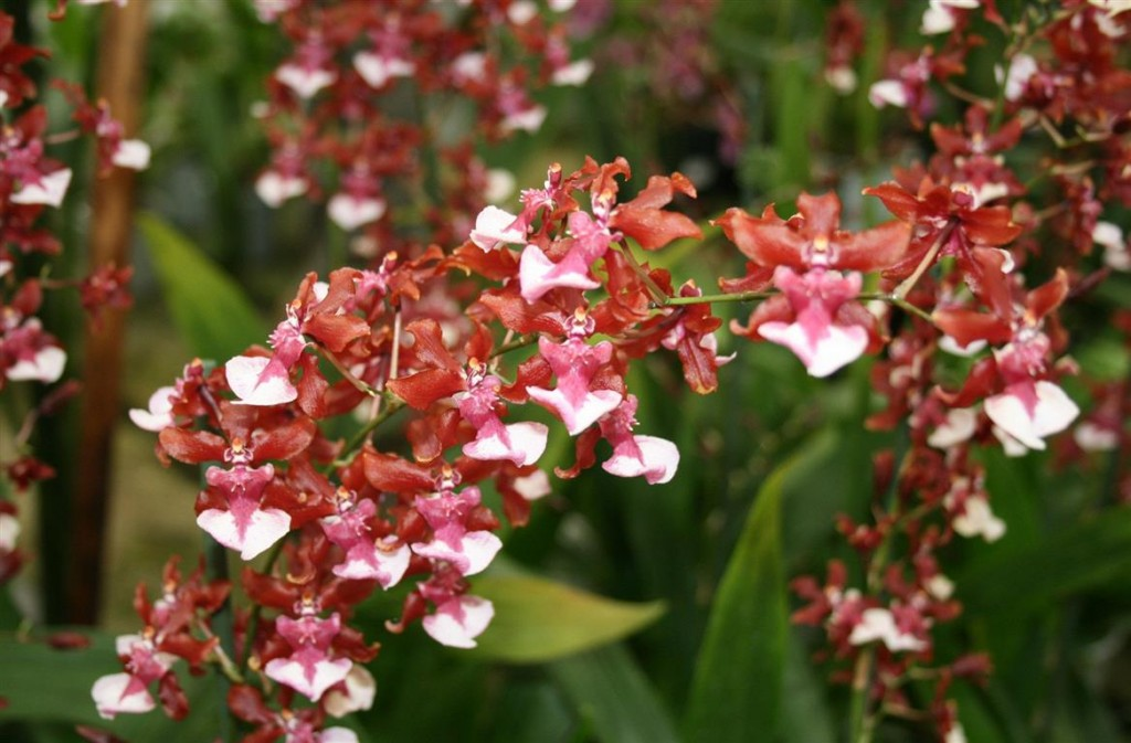 Oncidium Sharry Baby Sweet-Fragrance