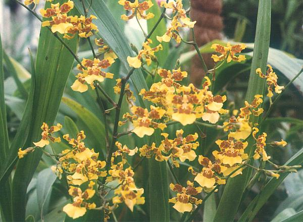 Oncidium_spacelatum1