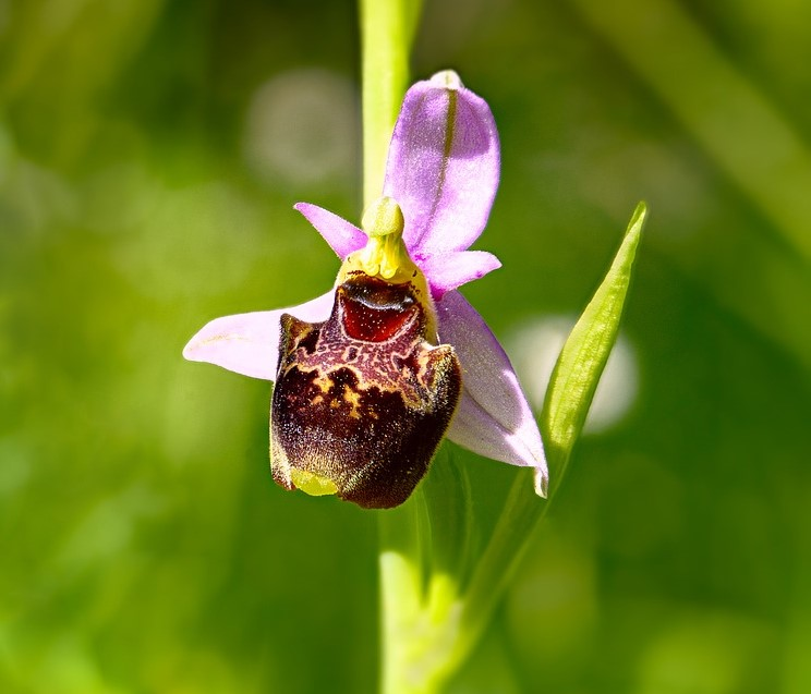 Ophrys-Insectifera-3