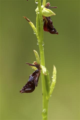 Ophrys_insectifera_46