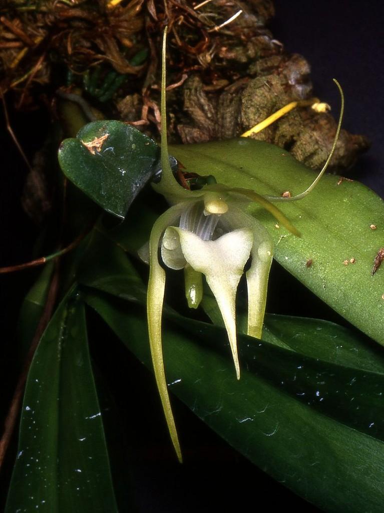 Orquídea Aeranthes arachnites3