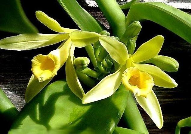 Orquídea Baunilha (Vanilla)