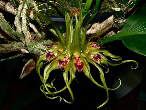 Orquídea Bulbophyllum binnendijkii