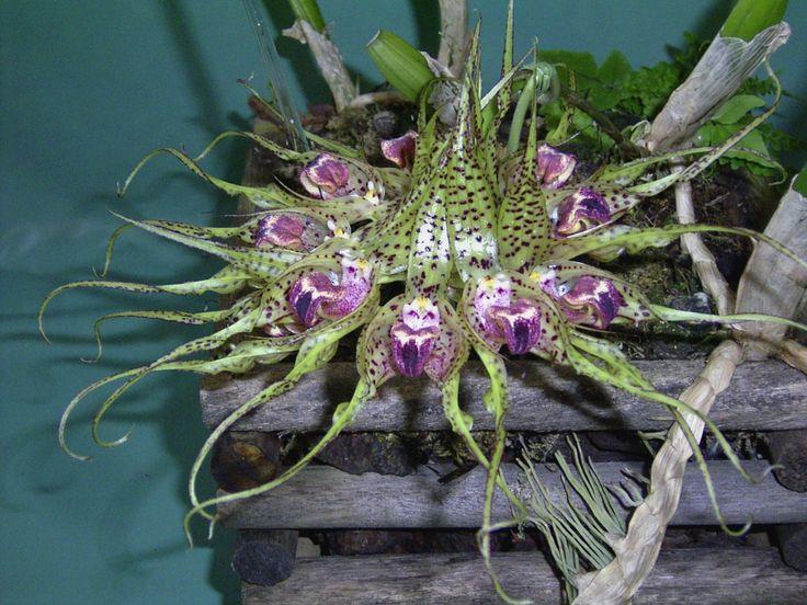 Orquídea Bulbophyllum binnendijkii1