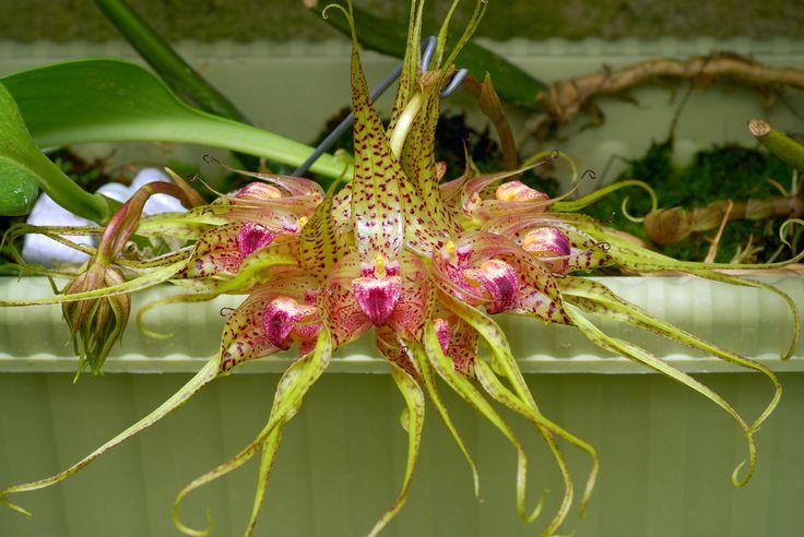 Orquídea Bulbophyllum binnendijkii2