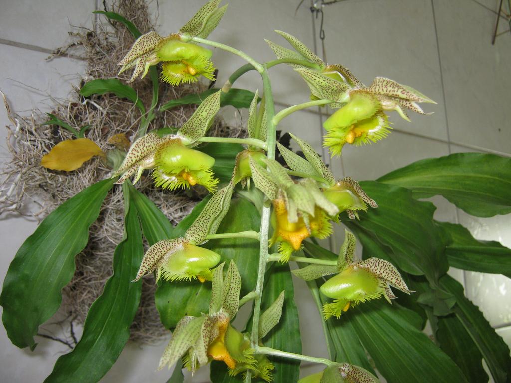 Orquídea Catasetum fimbriatum