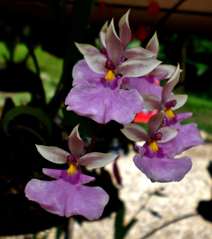 Orquídea Caucaea