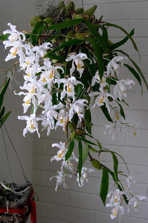 Orquídea Coelogyne (Medium)