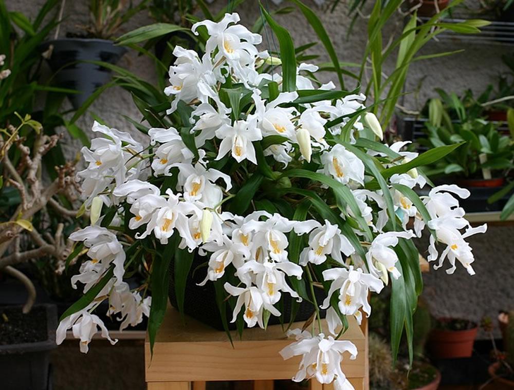 Orquídea Coelogyne _11