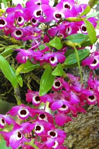 Orquídea-Dendróbio-Compacta-14