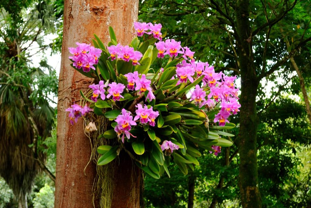 Orquídea-Epífita