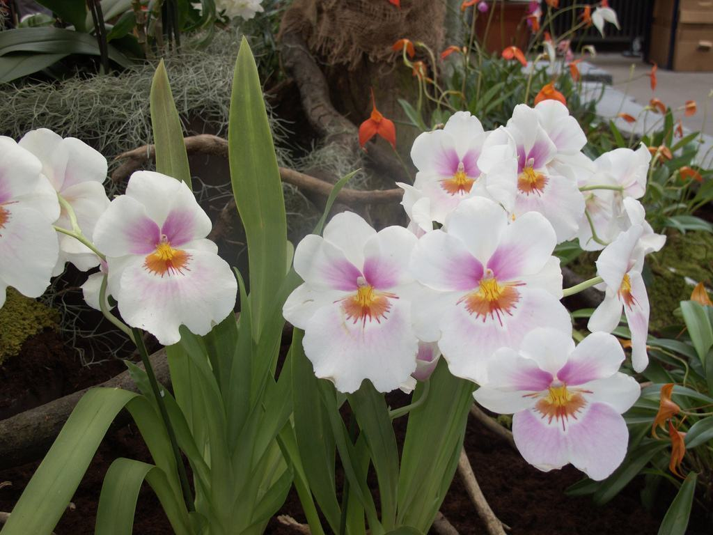 Orquídea-Miltonia