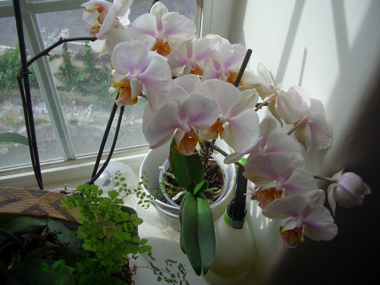 Orquídea Phalaenopsis 22