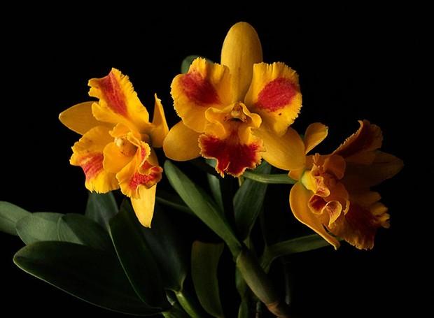 Orquídea Potinara Burana Beauty