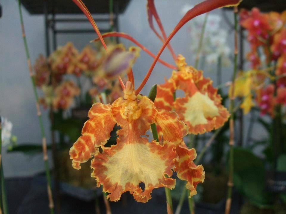 Orquídea Psychopsis
