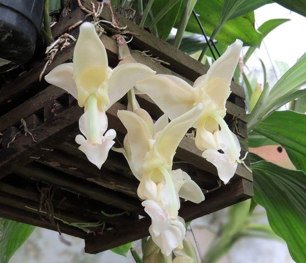 Orquídea Stanhopea Lietzeii (branca)
