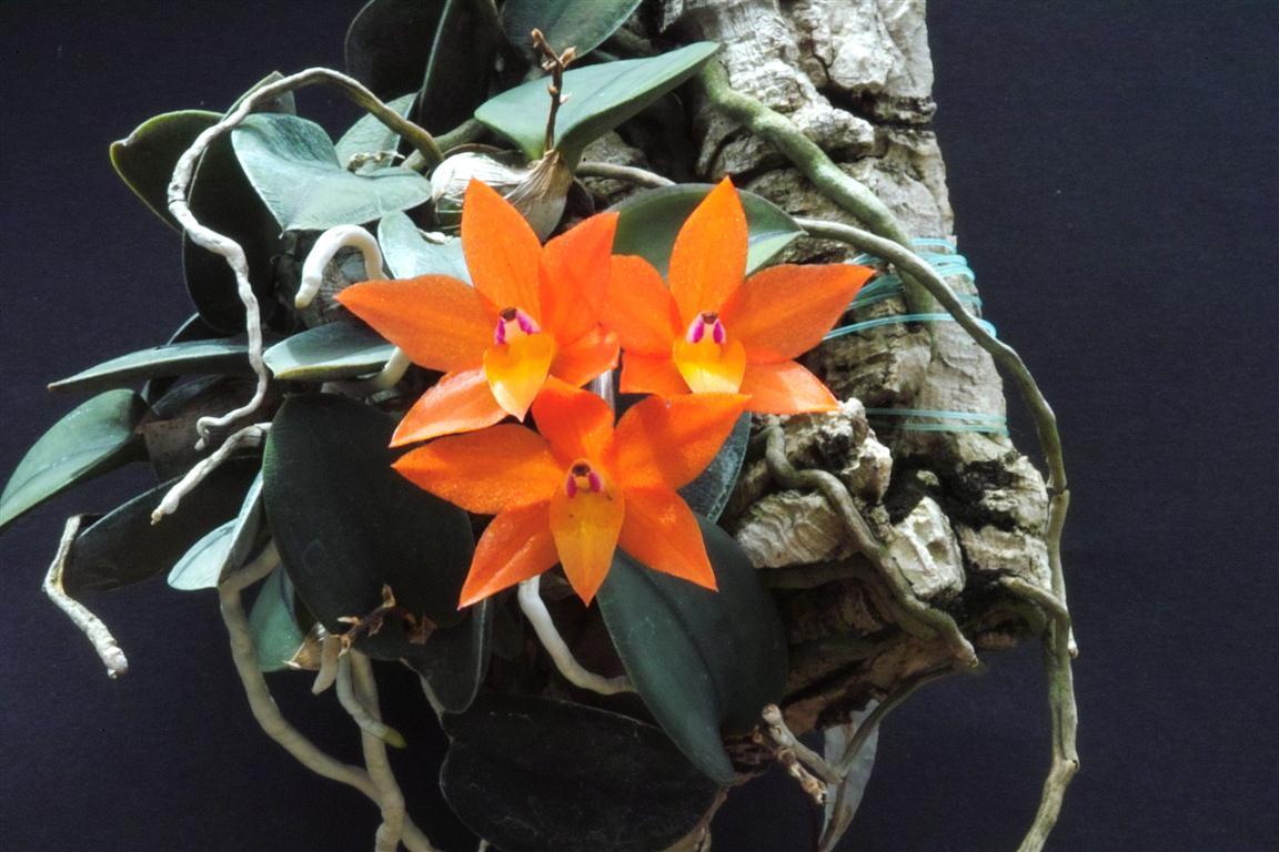 Orquídea Sophronitis cernua mineira var. abóbora